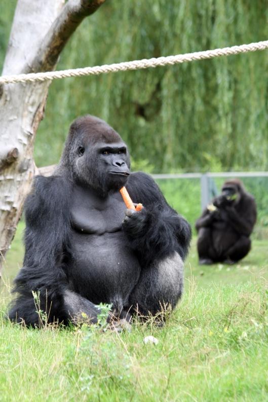 Gorillafütterung 4